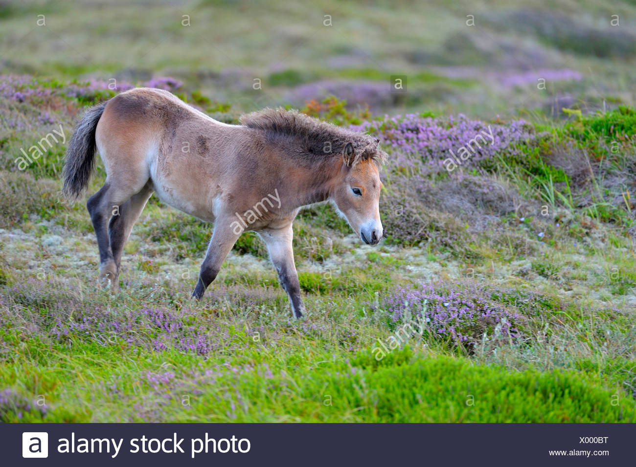 Exmoor pony (Equus przewalskii f. caballus), foal in the conservation area at blooming heath, Netherlands, Texel, Duenen von Texel Nationalpark - Stock Image