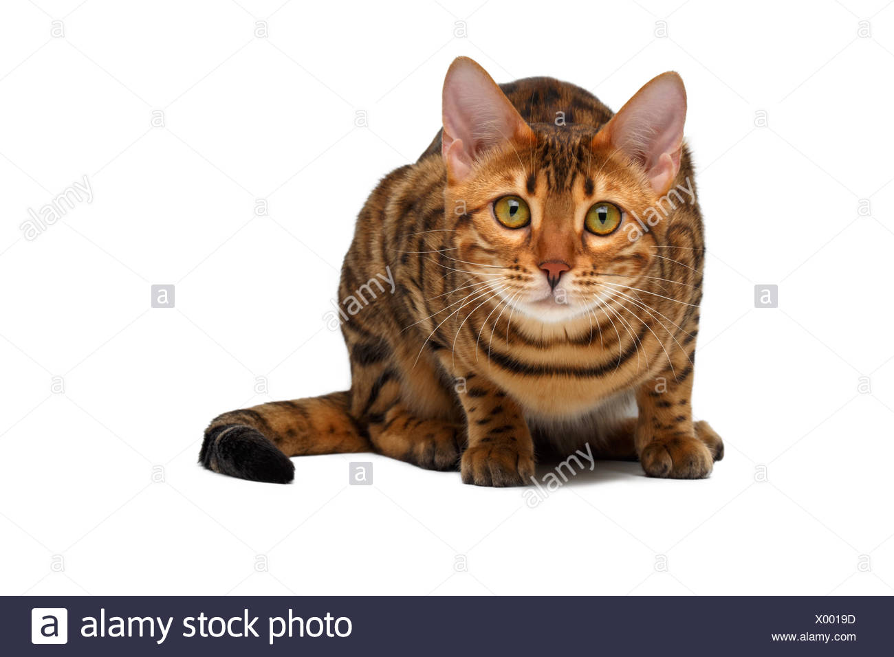 bengal cat  crouched Stock Photo