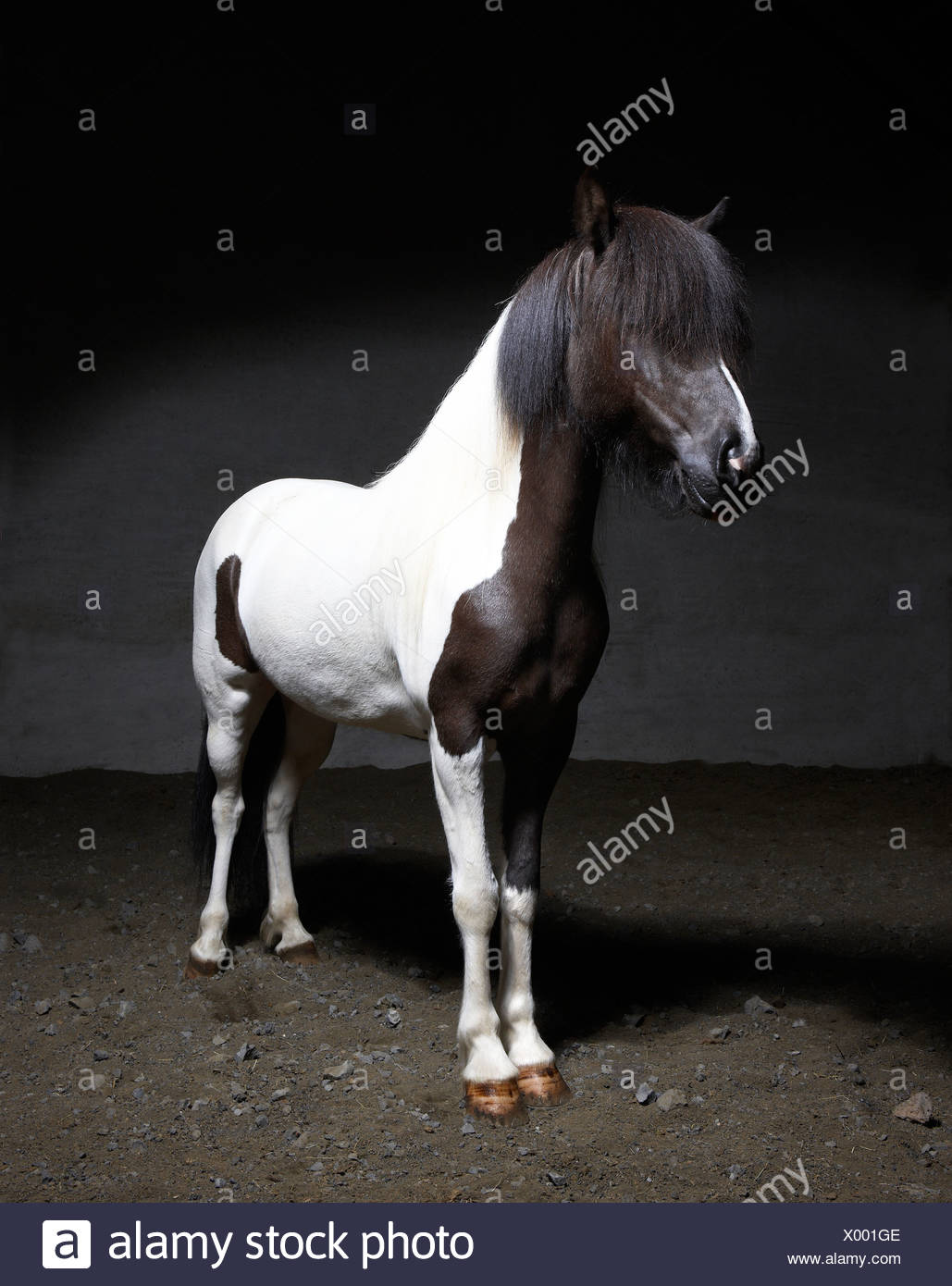 Pure Breed Icelandic Mare, Iceland Stock Photo