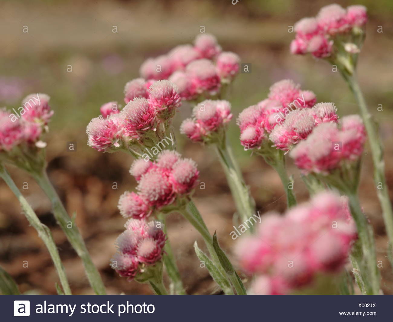 Catsfoot -Antennaria dioica 'Rotes Wunder' - Stock Image