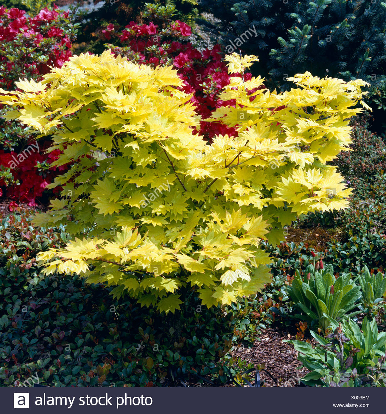 Acer Shirasawanum Aureum Agm Syn A Japonicum Aureum