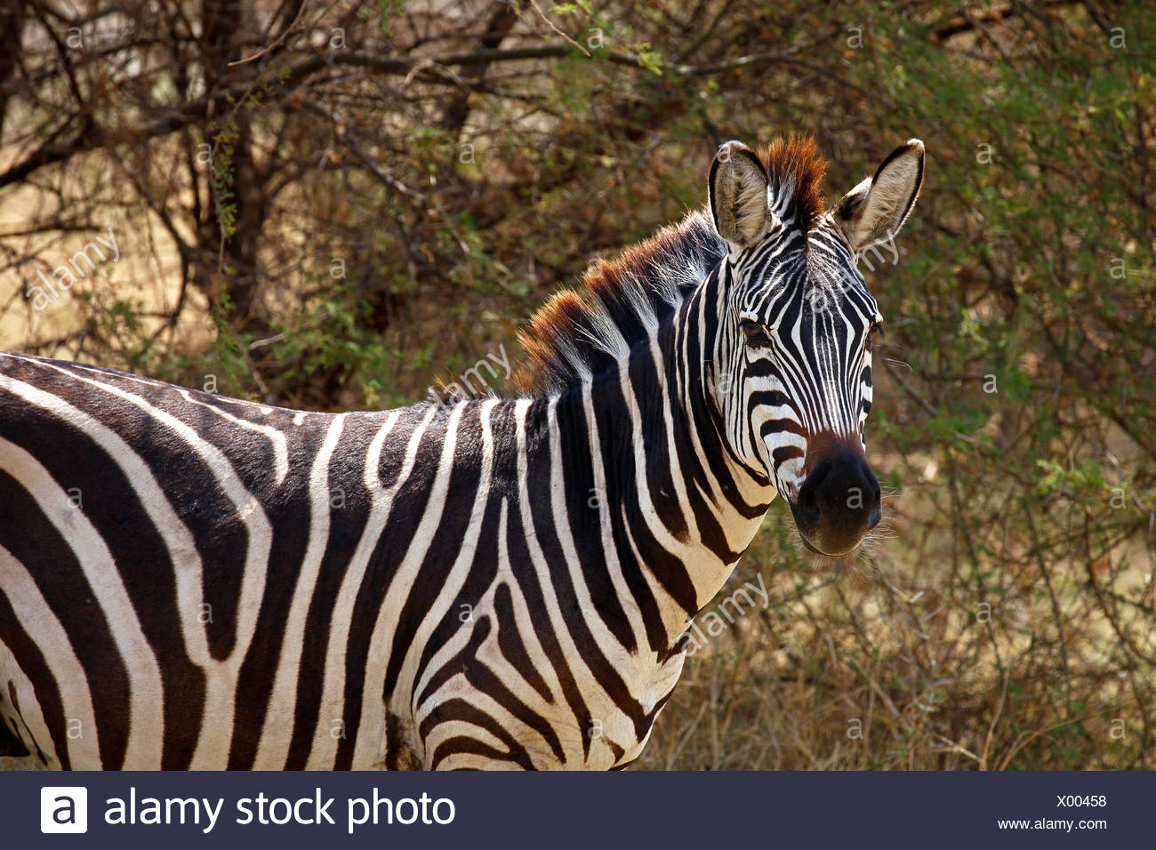 Plains zebra (Equus quagga), Lake Manyara National Park, Tanzania - Stock Image