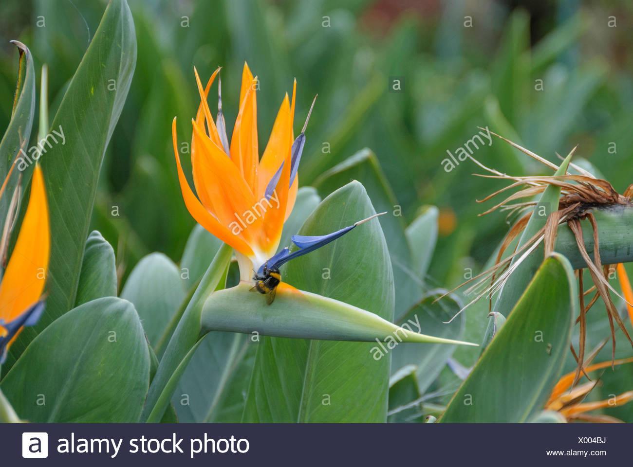 crane flower, bird of paradise flower, geel piesang (Strelitzia reginae), flower with humble bee - Stock Image