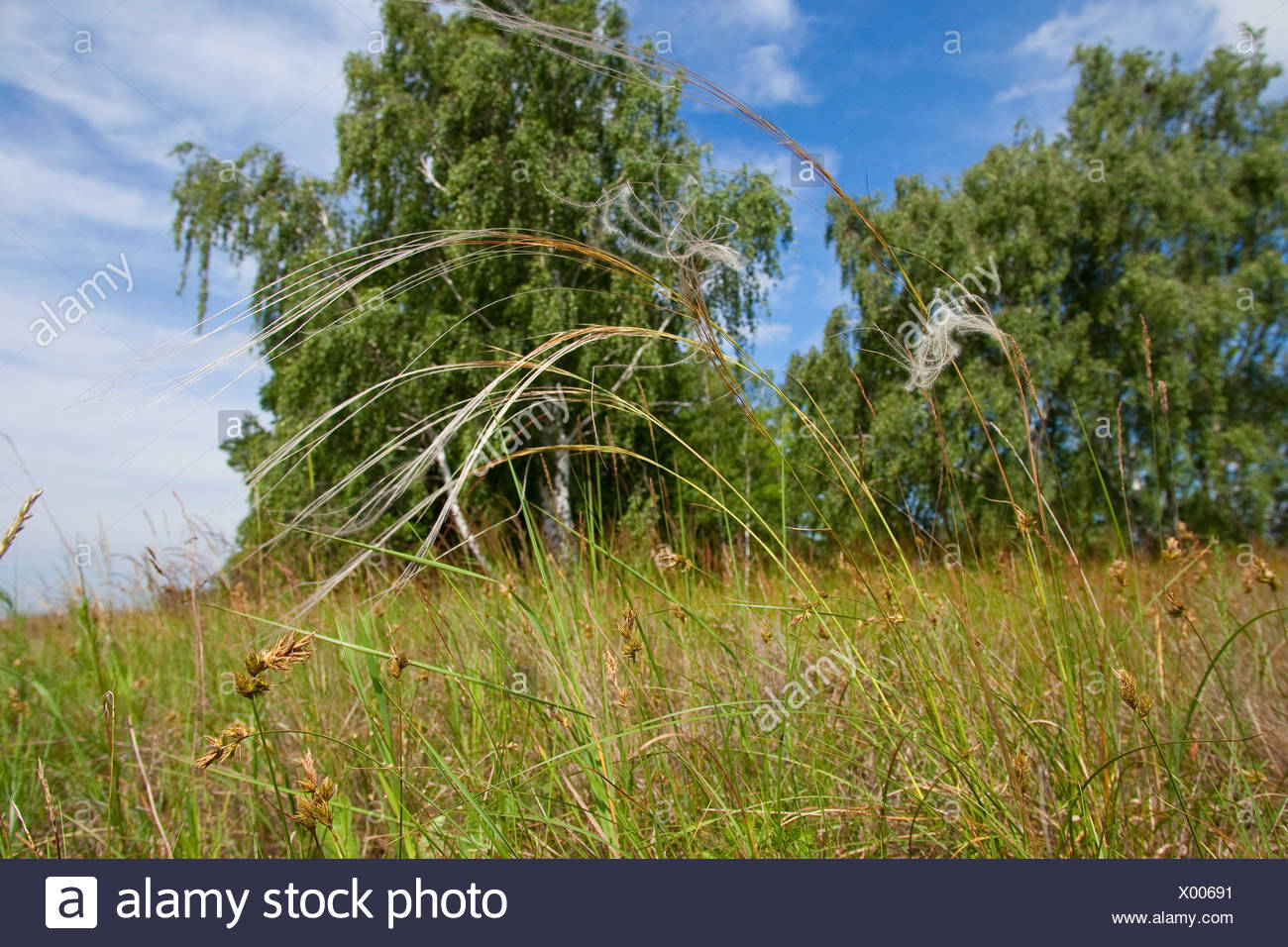 feather grass (Stipa pennata), in dry grassland, Germany - Stock Image