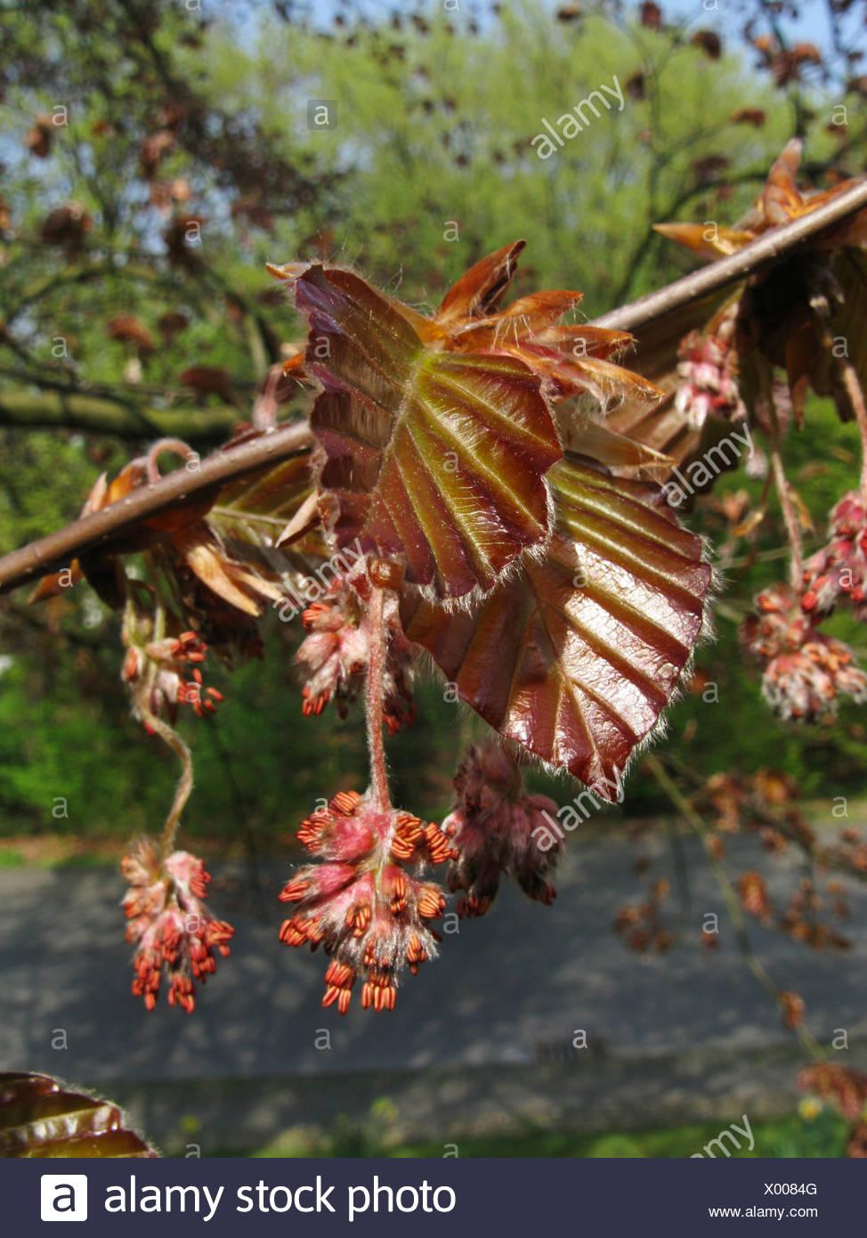 copper beech (Fagus sylvatica var. purpurea, Fagus sylvatica 'Atropunicea', Fagus sylvatica Atropunicea), male inflorescences, Germany - Stock Image