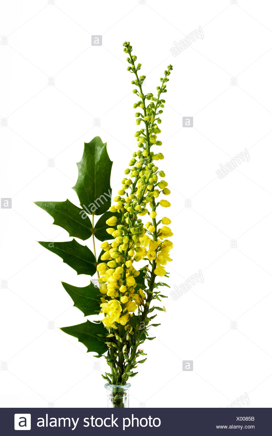 Holly-leaved barberry in front of white background - Stock Image