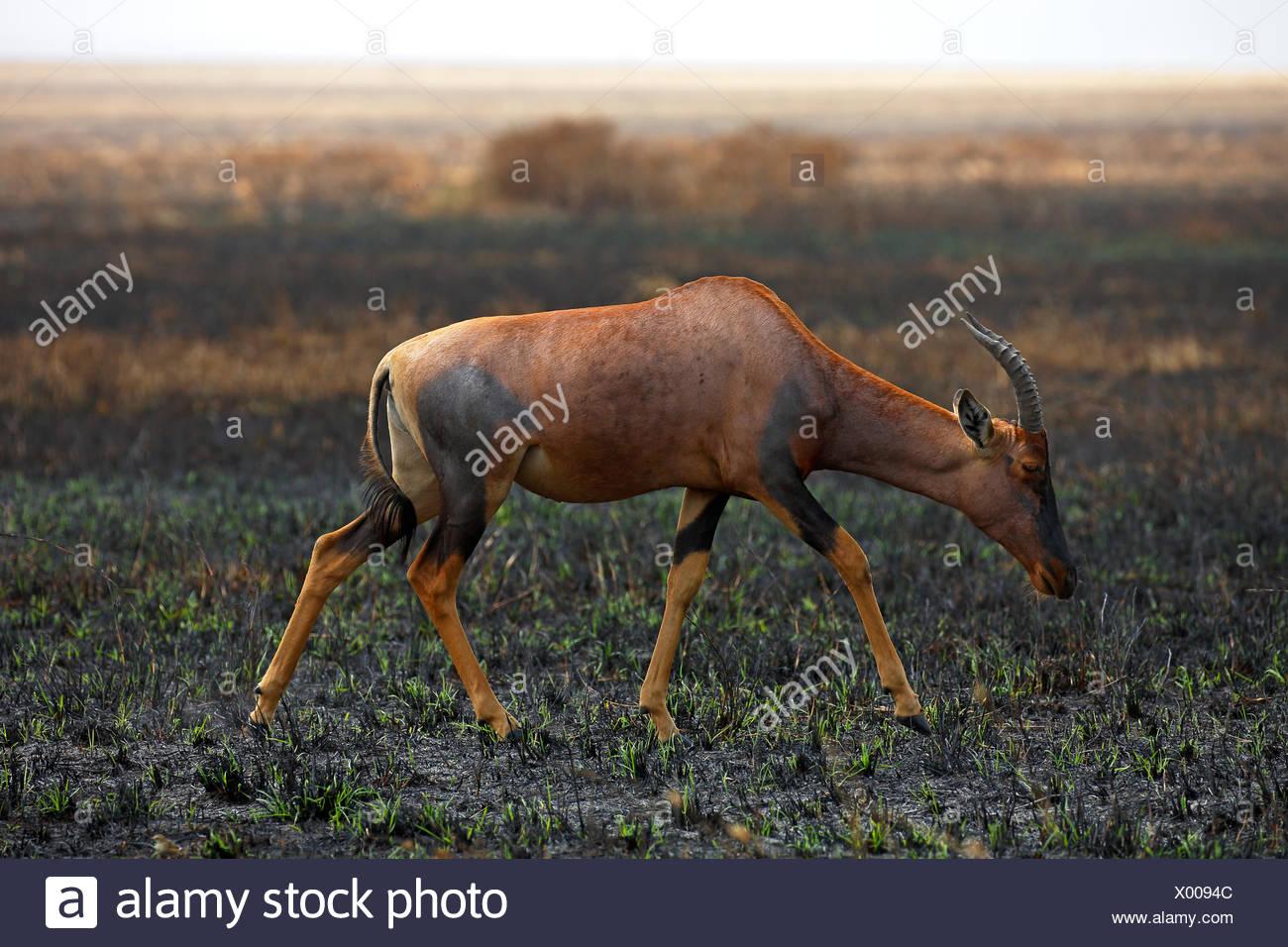 Topi (Damaliscus jimela), antelope traversing the savannah after a fire, Serengeti National Park, Tanzania - Stock Image