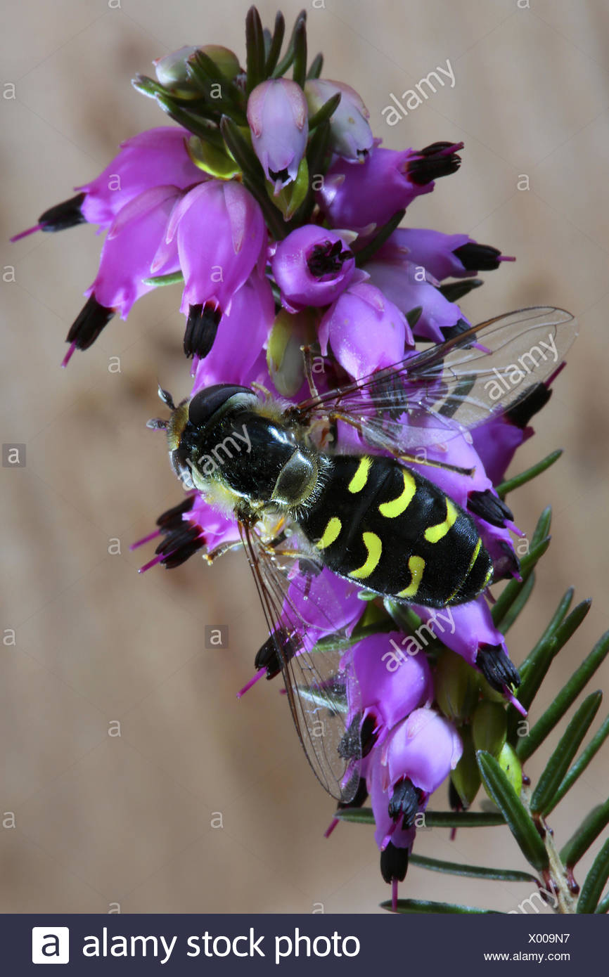 Cabbage aphid hover fly (Scaeva pyrastri), on winter heath, Germany - Stock Image