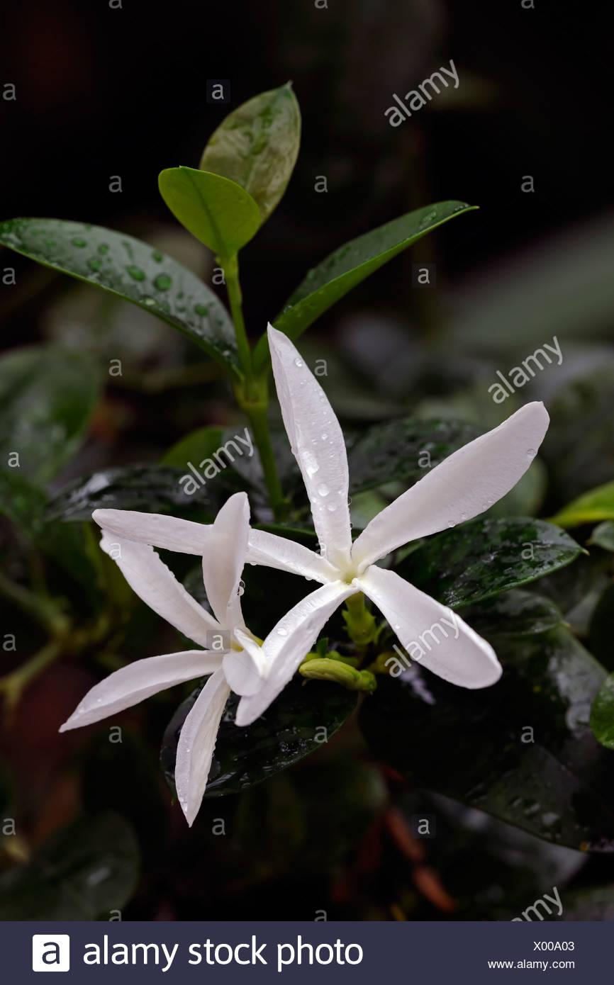 Natal Plum or Large Num-Num (Carissa macrocarpa), flowers - Stock Image