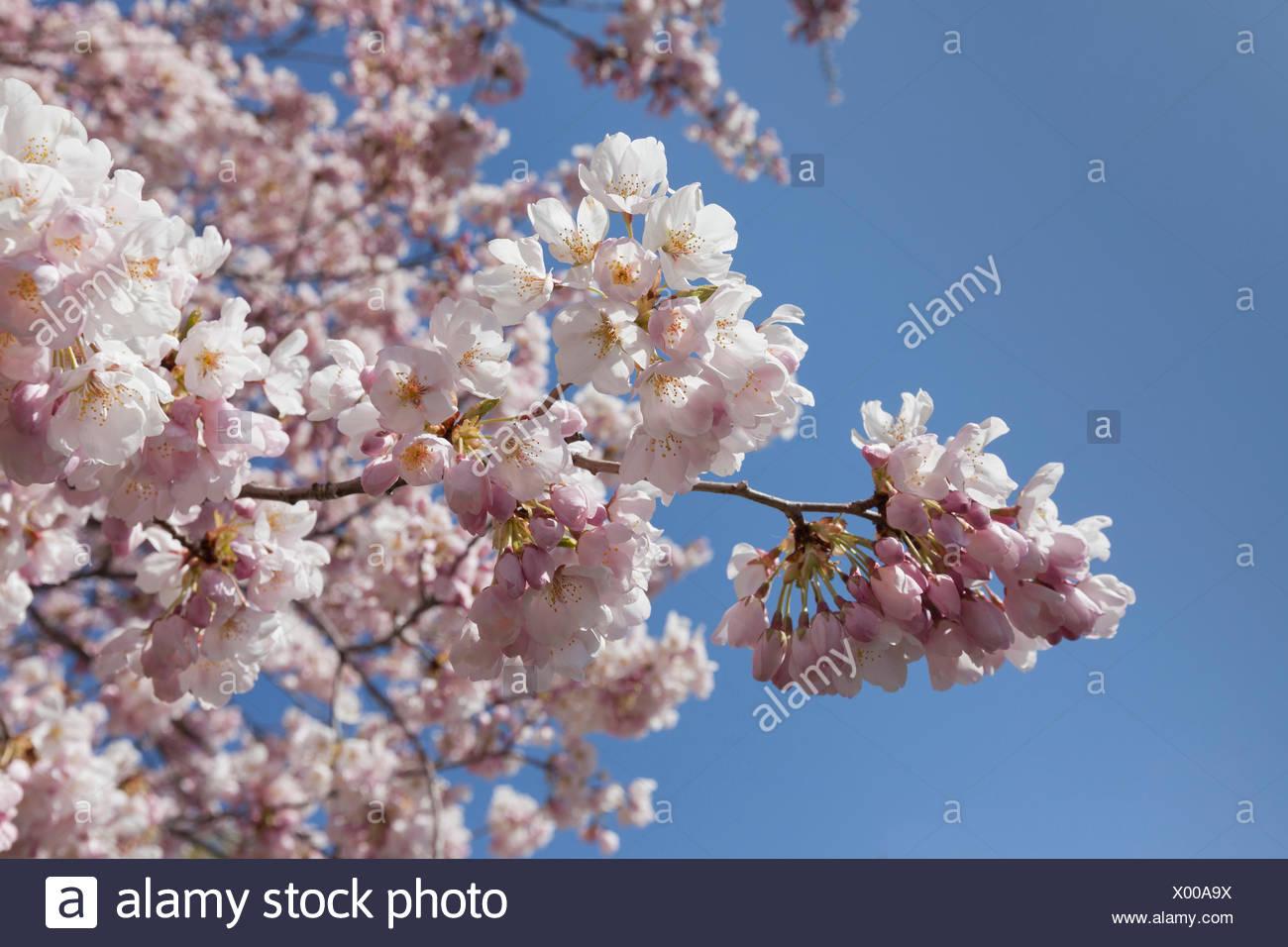 Japanese Cherry Tree Stock Photos & Japanese Cherry Tree Stock ...