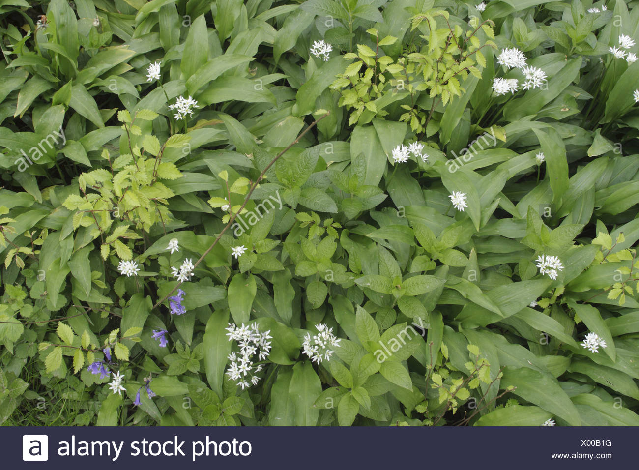 Ramsons Allium Ursinum Hazel Corylus Avellana Saplings