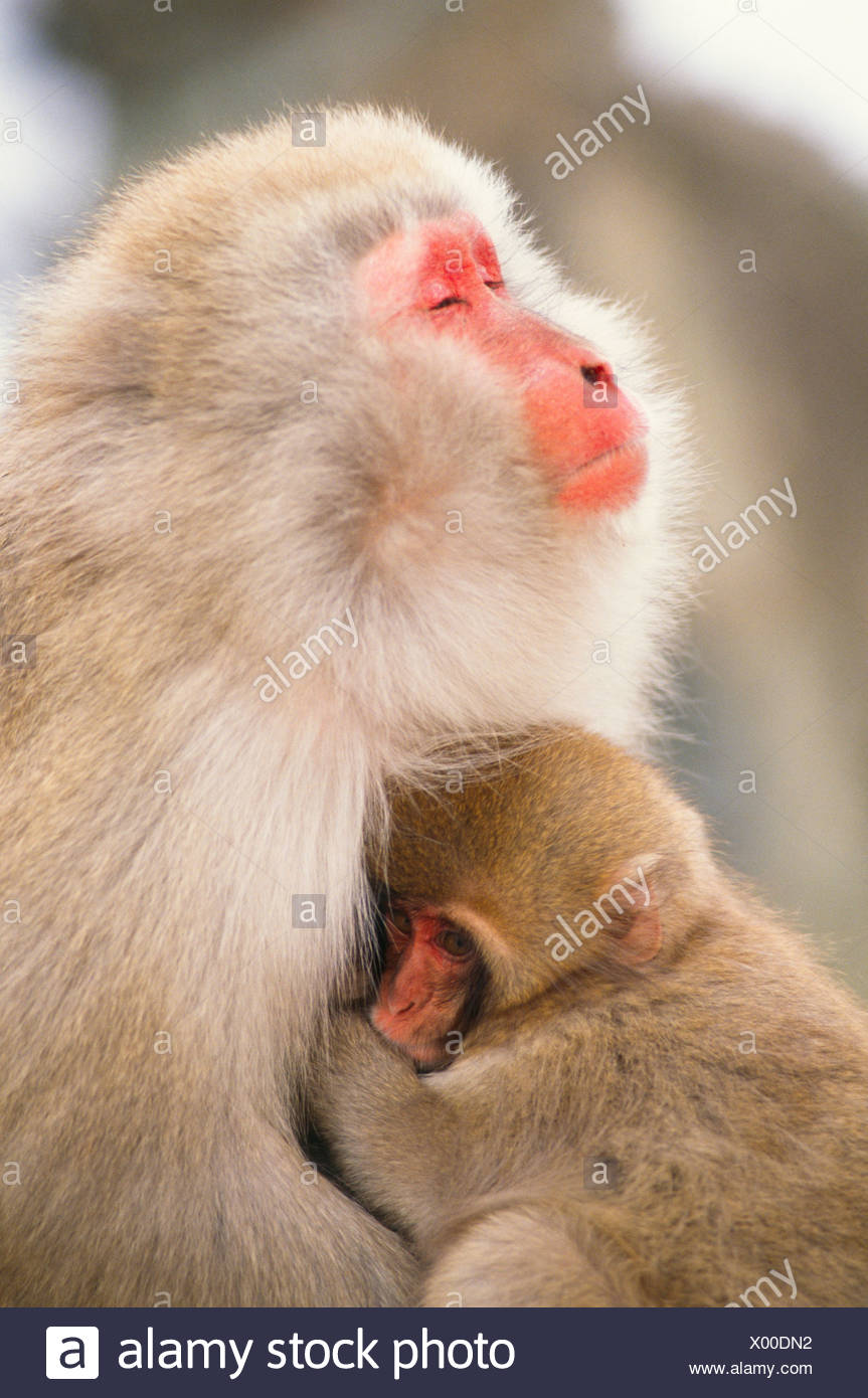 Japanese macaque with baby, Honshu, Japan - Stock Image