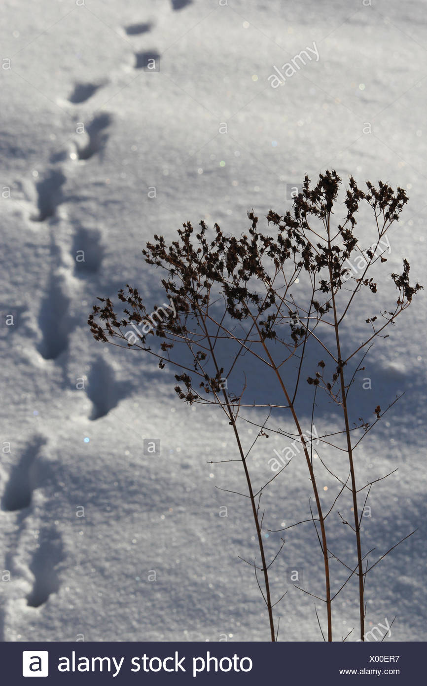 Animal trails in the snow - Stock Image