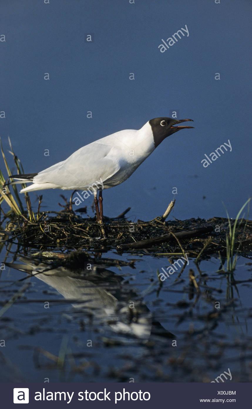 Black-headed Gull in breeding plumage - Stock Image