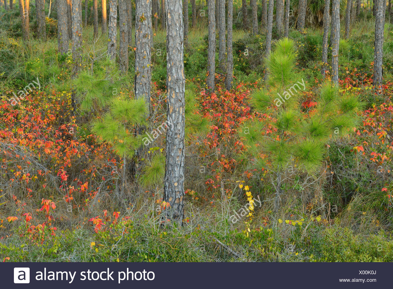 USA, Florida, Franklin County, Gulf of Mexico, Apalachicola, St. George Island, State Park, coastal pine forest in autumn, Stock Photo