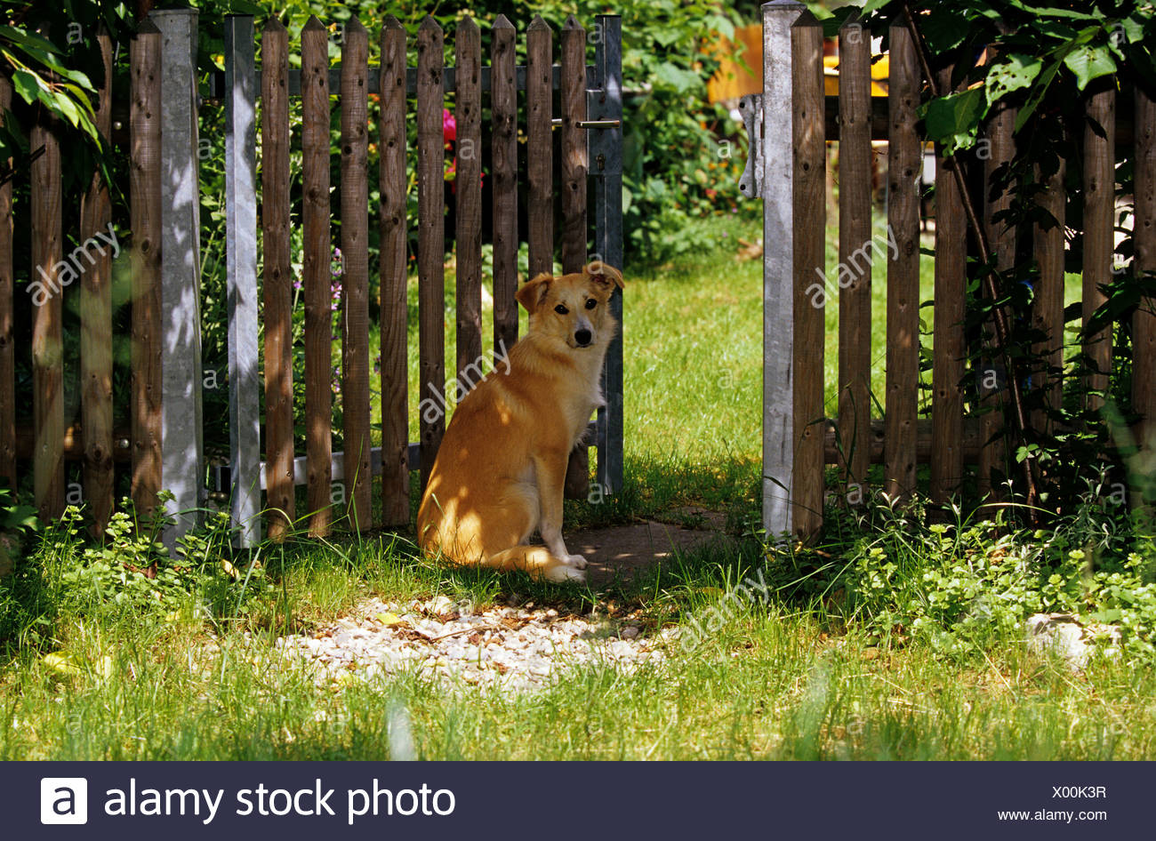 Mixed-breed dog sitting in front of a garden gate Stock Photo