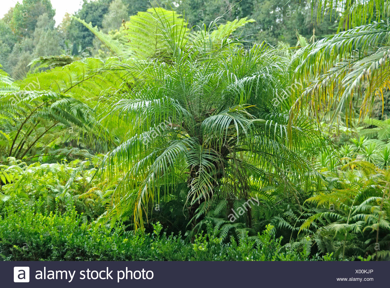 pygmy date palm, miniature date palm (Phoenix roebelenii), in a mediterranean garden together with tree ferns, Portugal, Madeira, Monte Tropical Garden - Stock Image