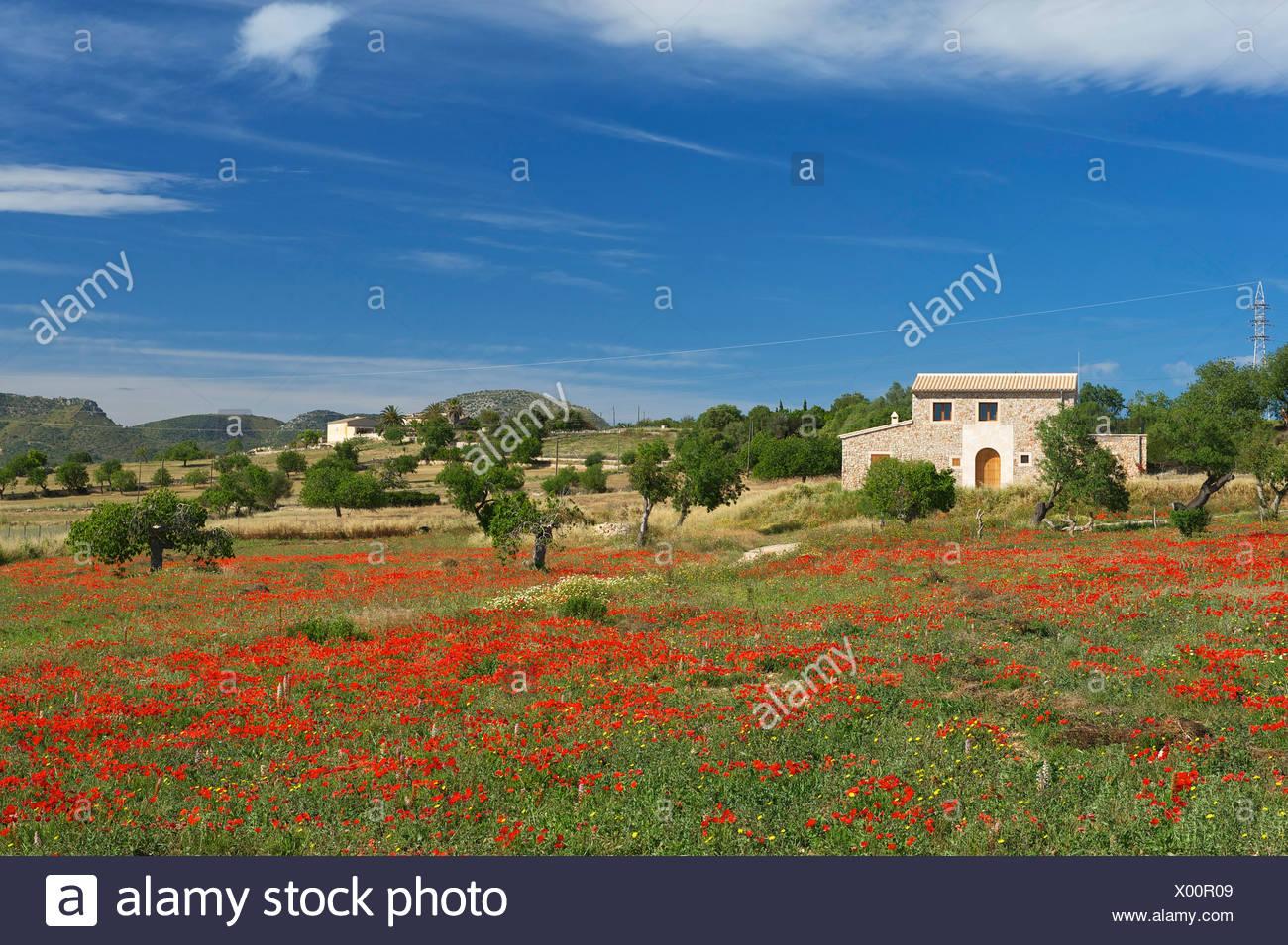 Balearic Islands, Majorca, Mallorca, Spain, Europe, outside, Finca, Fincas, country house, country houses, poppy blossom, scener - Stock Image