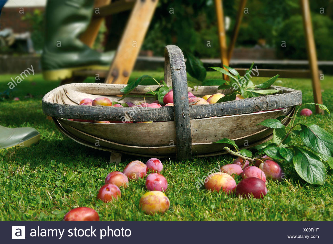 Plums in wooden trug on lawn Stock Photo