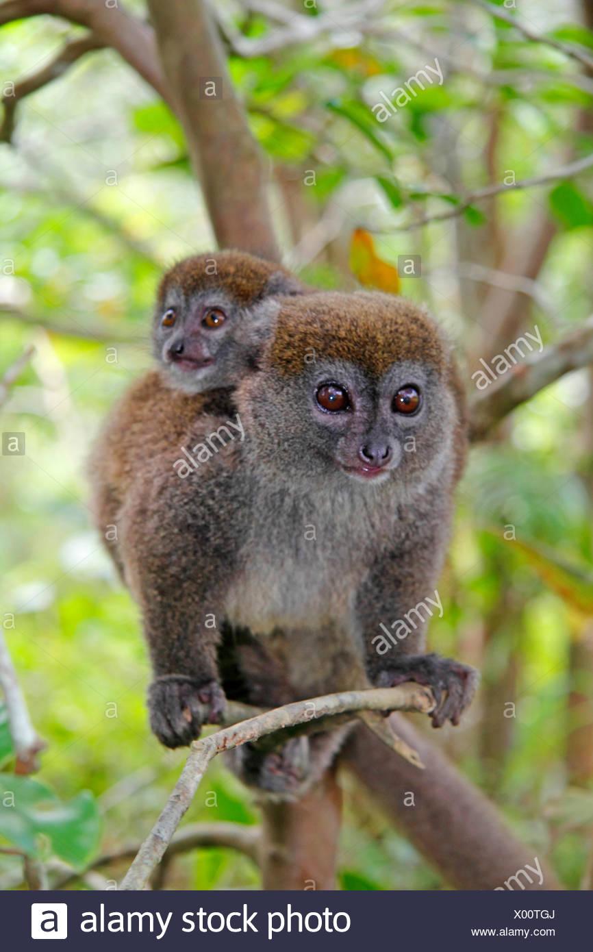 Eastern lesser bamboo lemur, Eastern grey bamboo lemur, Eastern grey gentle lemur (Hapalemur griseus), female with infant on her back, Madagascar, Analamazaotra National Park - Stock Image