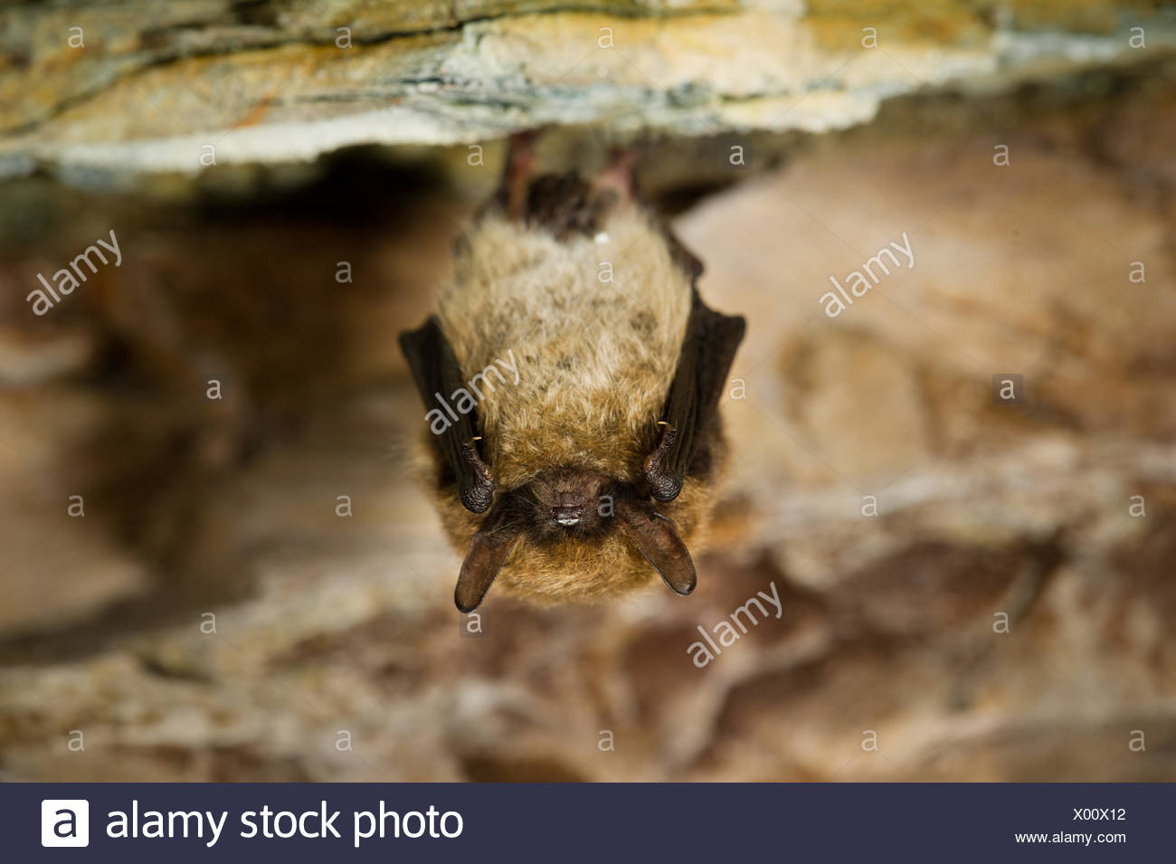 This image shows a whiskered bat, photographed hibernating in a Belgian slate cave - Stock Image