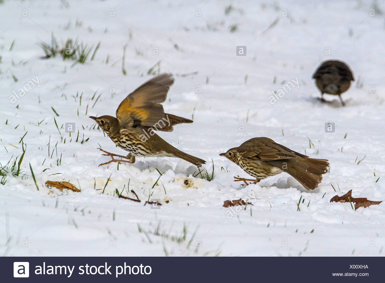 song thrush (Turdus philomelos), disputing on snow covered lawn, Germany, Bavaria - Stock Image
