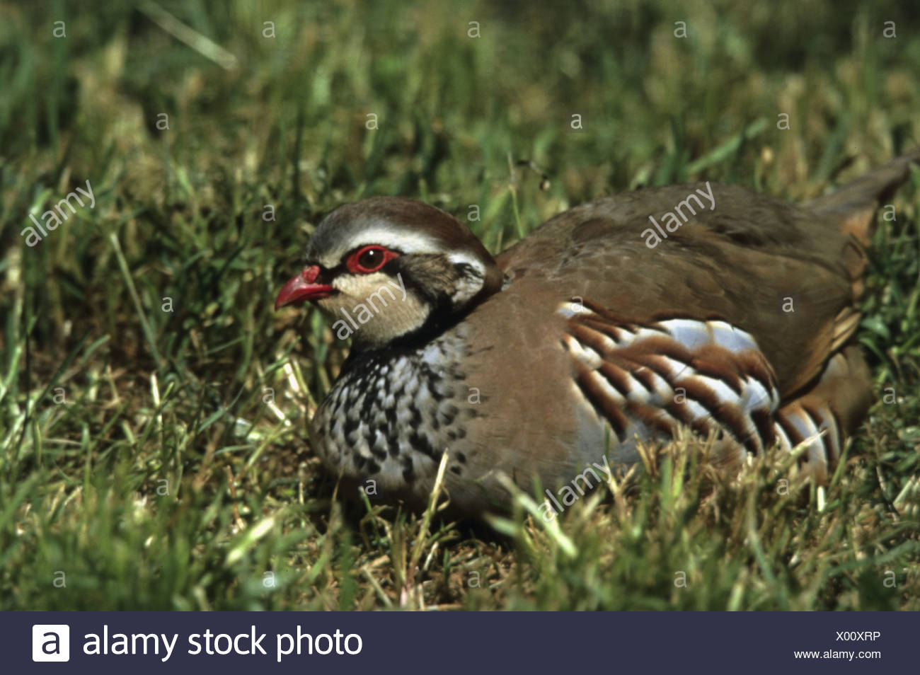 zoology / animals, avian / bird, Phasianidae, Red-legged Partridge (Alectoris rufa), sitting on grass, Crau, France, distribution: Europe, Additional-Rights-Clearance-Info-Not-Available - Stock Image