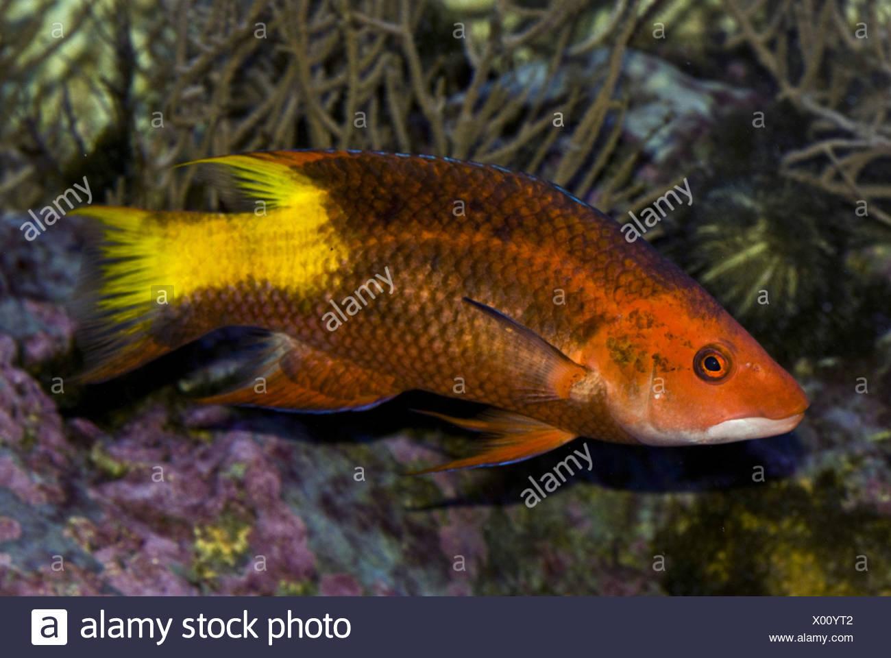 spotfin hogfish, bodianus pulchellus - Stock Image