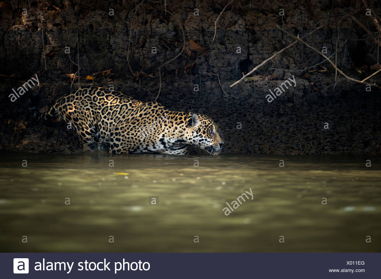 Wild male Jaguar (Panthera onca palustris) entering the Piquiri River, a tributary of Cuiaba River, Northern Pantanal, Brazil. - Stock Image