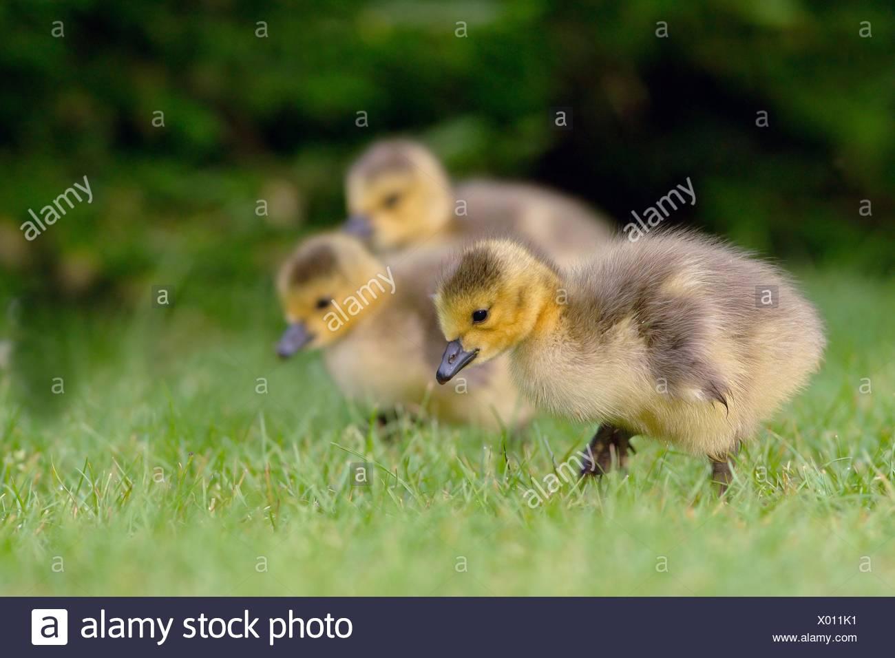 fledglings - Stock Image