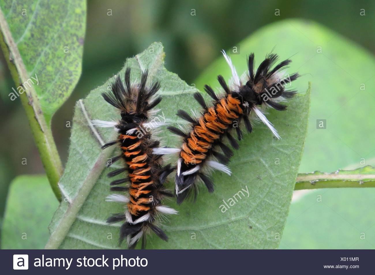 Euchaetes egle, milkweed tussock caterpillar - Stock Image
