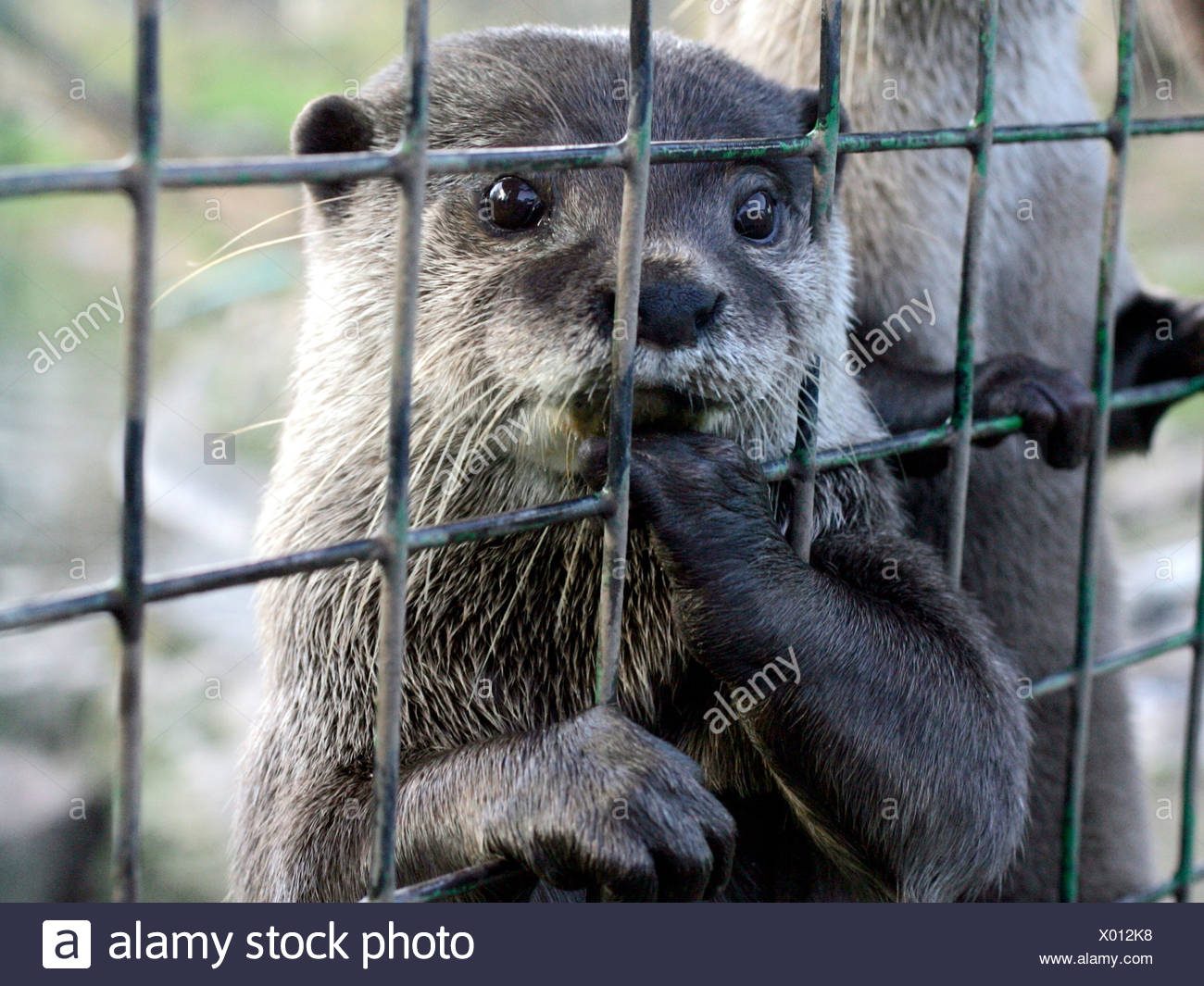 Otter in a cage waiting for food. - Stock Image