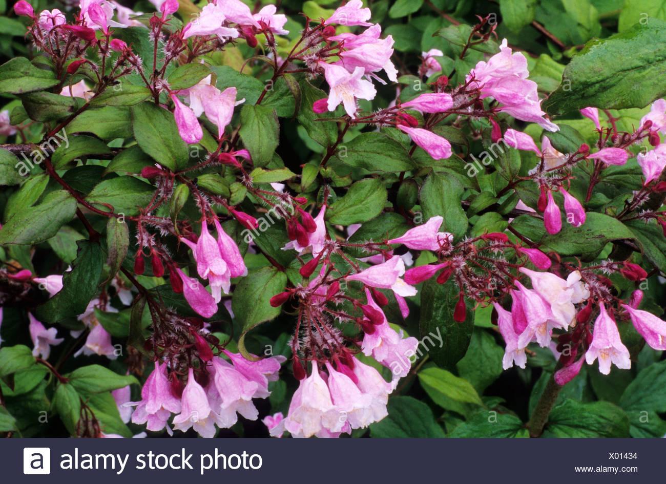 Kolkwitzia Amabilis Pink Cloud Beauty Bush Pink Flowers Garden