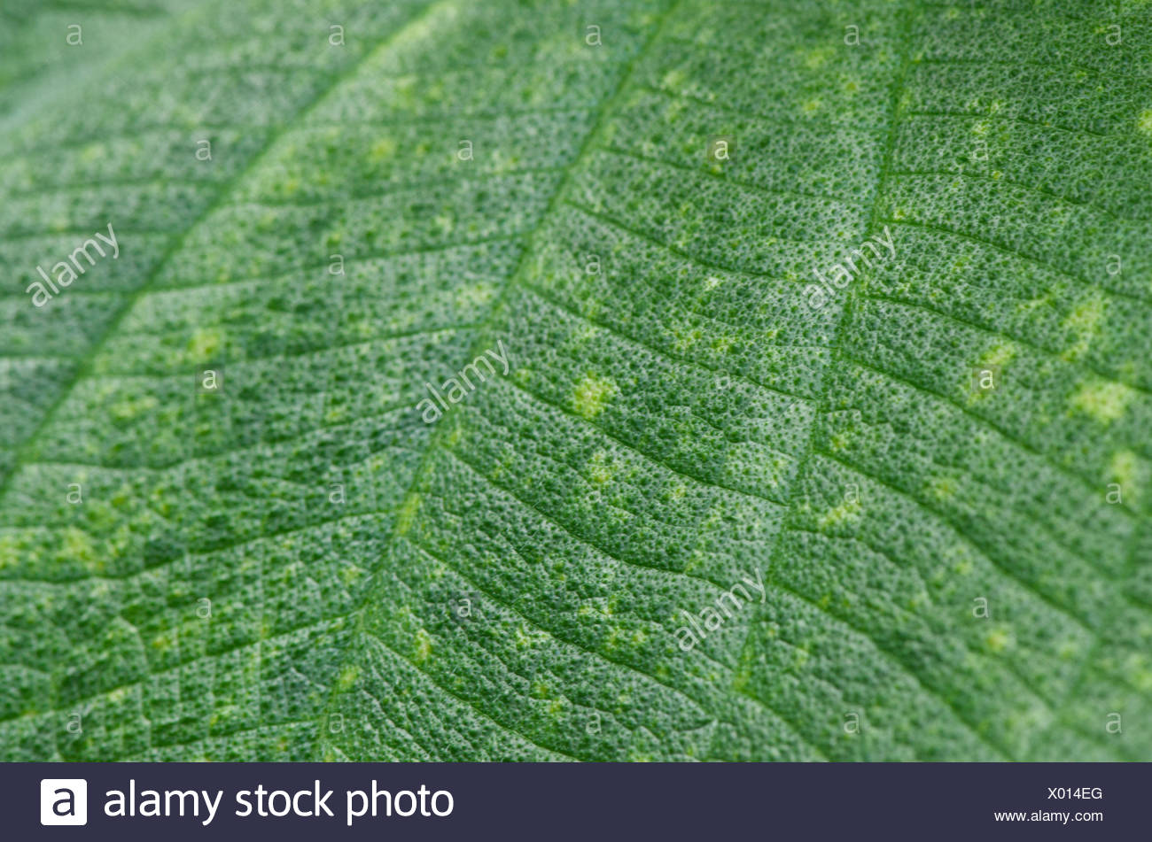 Plant leaf, close-up, - Stock Image