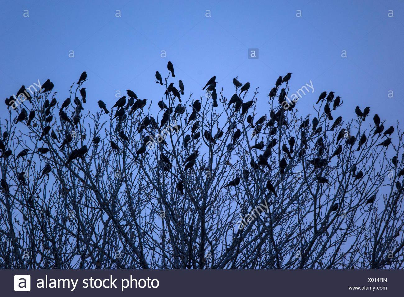 blackbirds, tree, treetop, bird - Stock Image