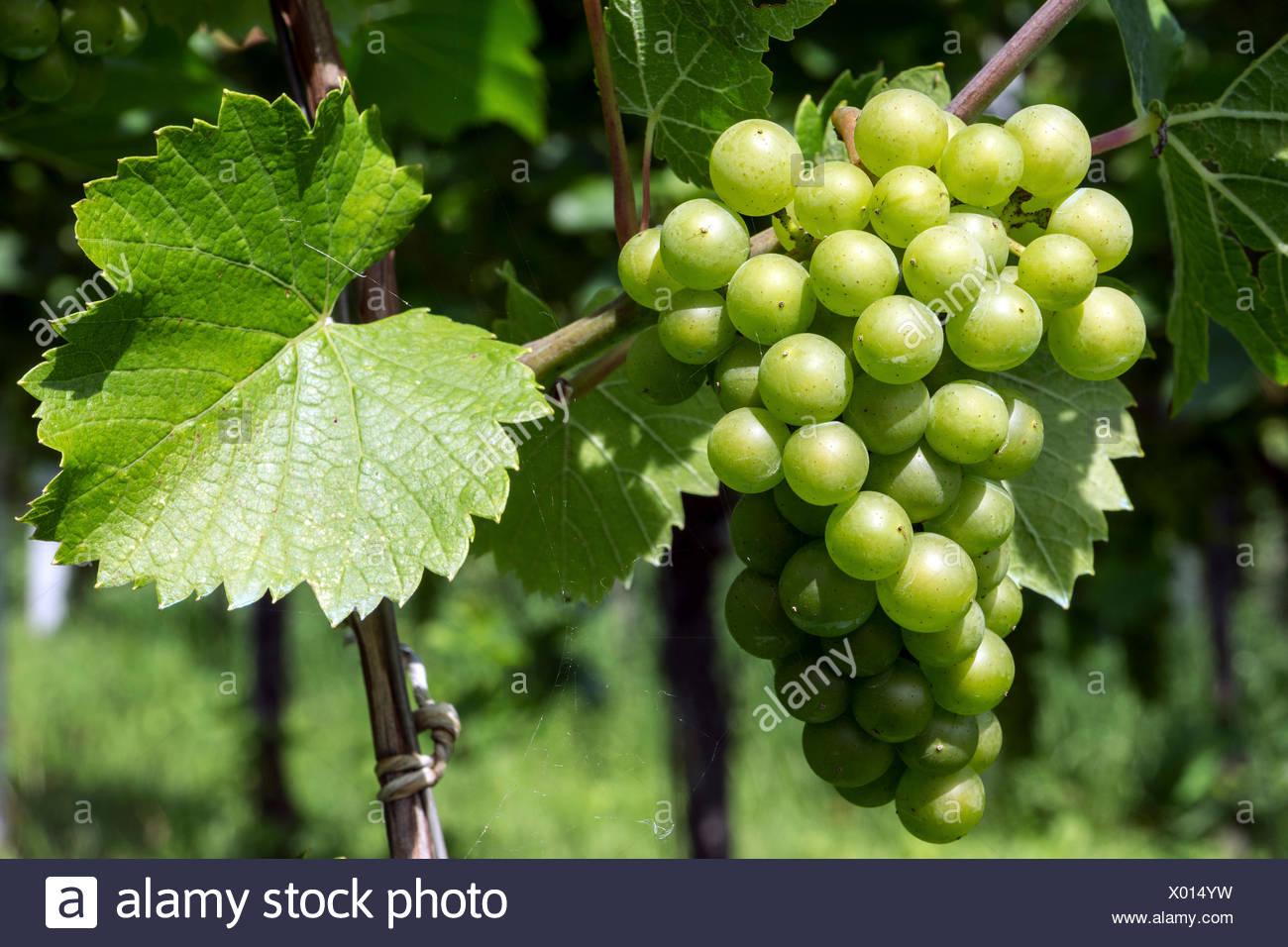 White grapes, grapes, noble Grape vine (Vitis vinifera), Fruchtstand, Baden-Württemberg, Germany Stock Photo