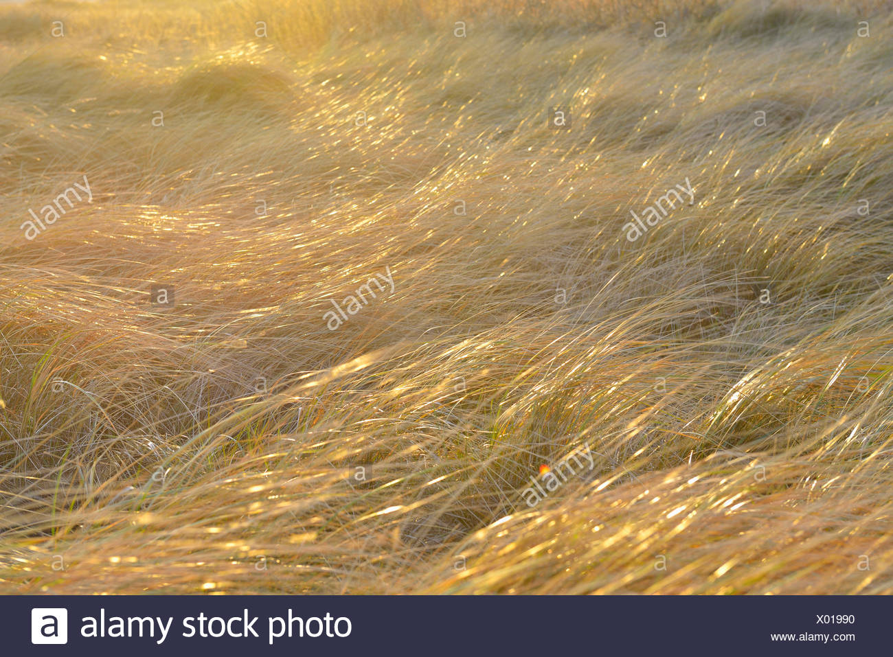 dune grass in the wind, Germany, Schleswig-Holstein, Heligoland - Stock Image