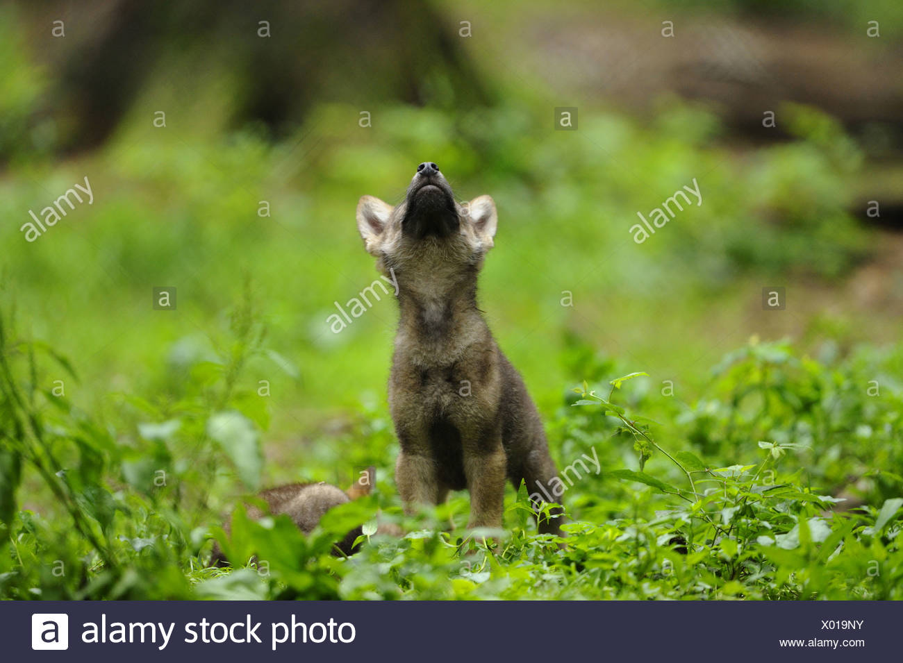 European gray wolf (Canis lupus lupus), howling wolf cub standing in meadow, Germany, Bavaria, Bavarian Forest National Park - Stock Image