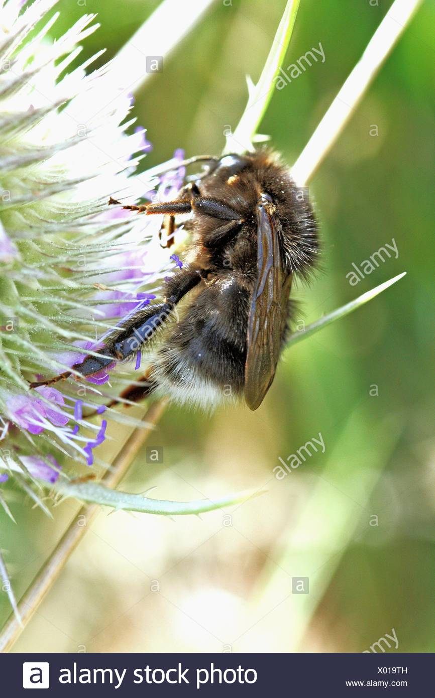 Czech black bumblebee on Wild Teasel, Dipsacus fullonum  Macro  Close-up  Flowerhead with large black bumblebee  Bombus - Stock Image