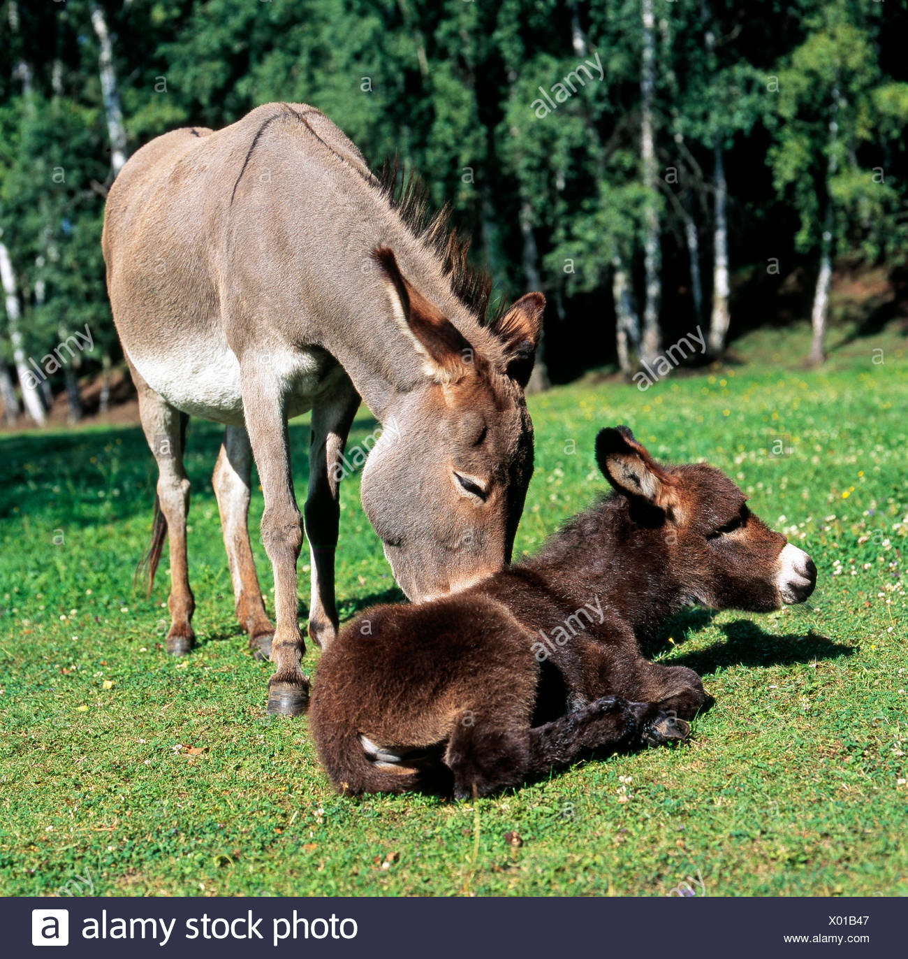 Grey donkey mare, brown foal, caressing, motherly love, meadow, resting Stock Photo