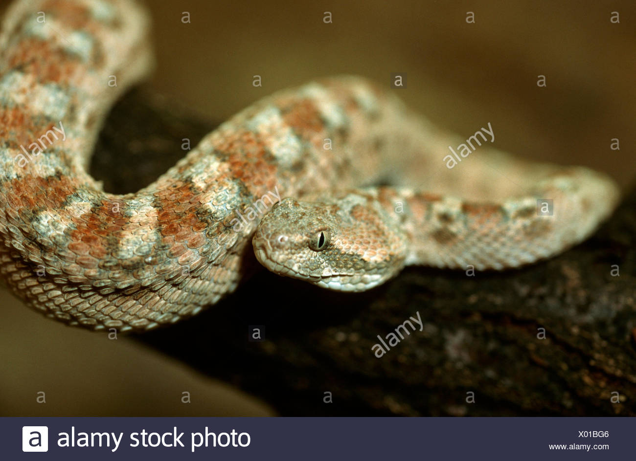 Arabic saw-scaled viper, Palestine saw-scaled viper (Echis coloratus), closeup on a branch, one of the most dangerous venomous snakes - Stock Image