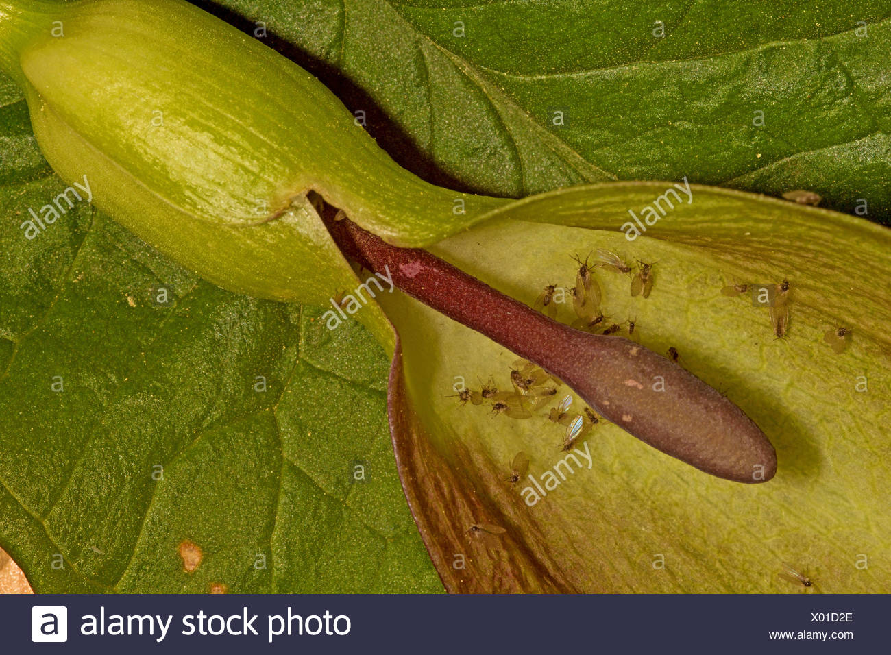moth flies (Psychoda phalaenoides), siting in an inflorescence of arum, Germany, Bavaria - Stock Image