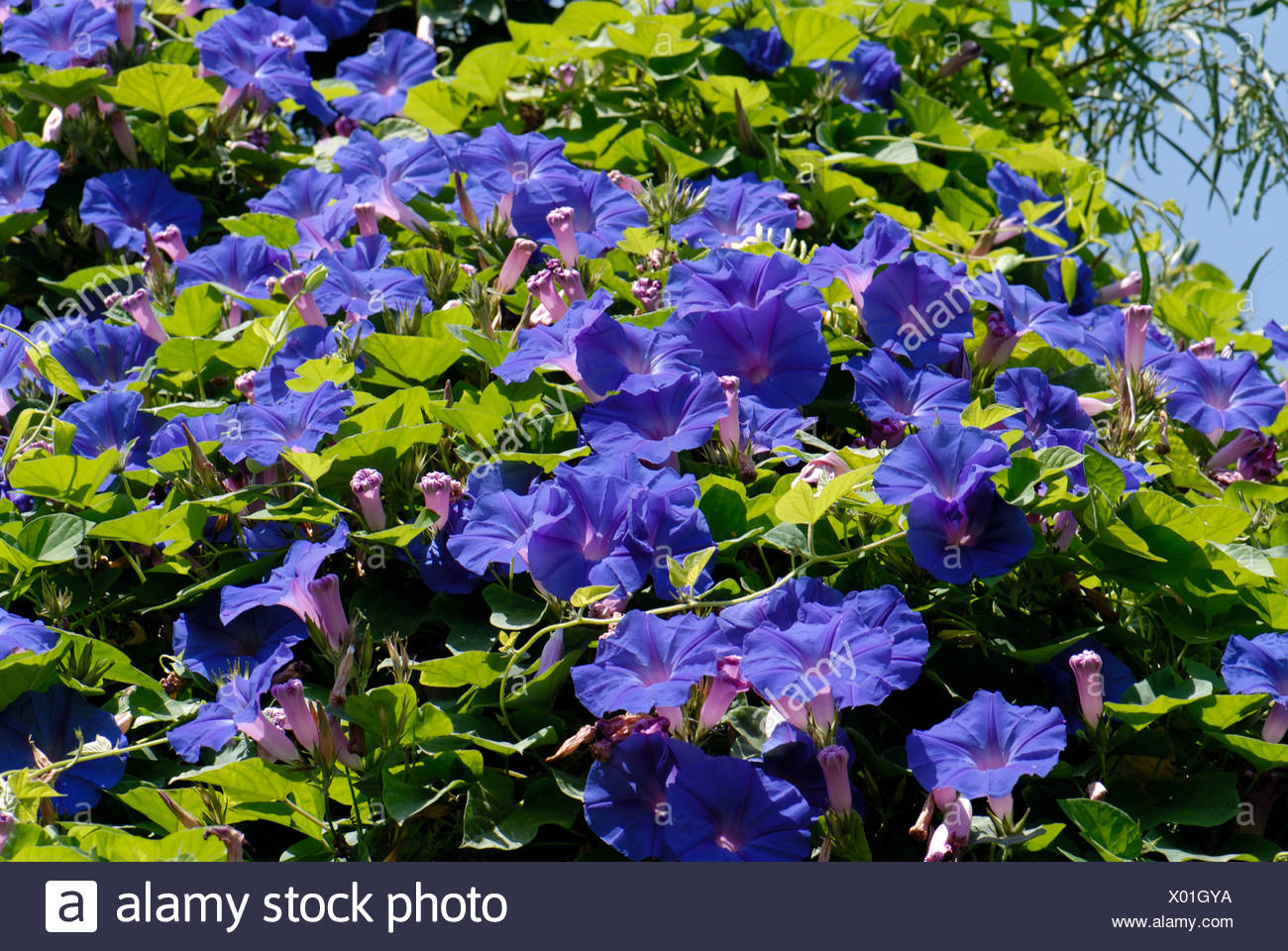 Blue flowers of morning glory Ipomoea spp in full bloom in a Crete garden - Stock Image