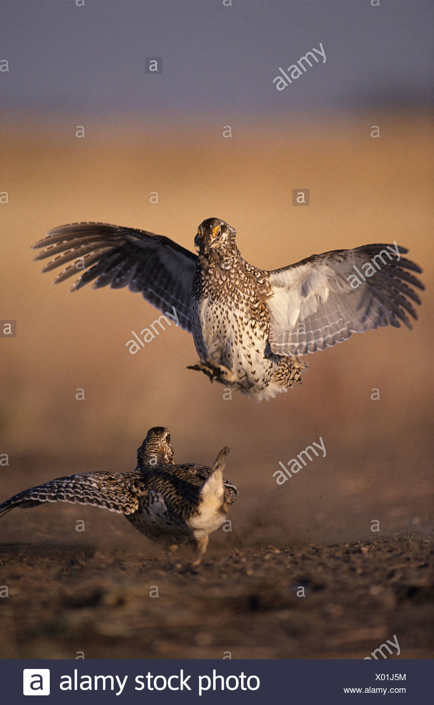 Male Sharp-tailed grouse (Tympanuchus phasianellus) fighting at lek in spring, Saskatchewan, Canada - Stock Image