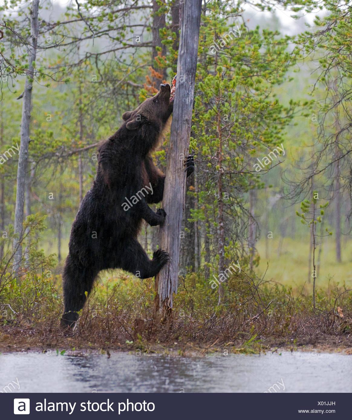Europaeischer Braunbaer, Braunbaer, Braun-Baer (Ursus arctos arctos), frisst Lachs an einem See in Finnland, Norwegen | European - Stock Image