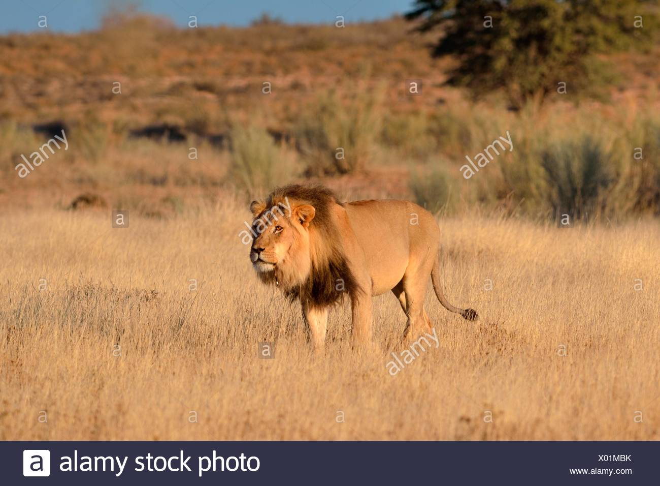 Lion (Panthera leo), male, walking through the grass, with the spine of a porcupine on his neck, Kgalagadi Transfrontier Park - Stock Image