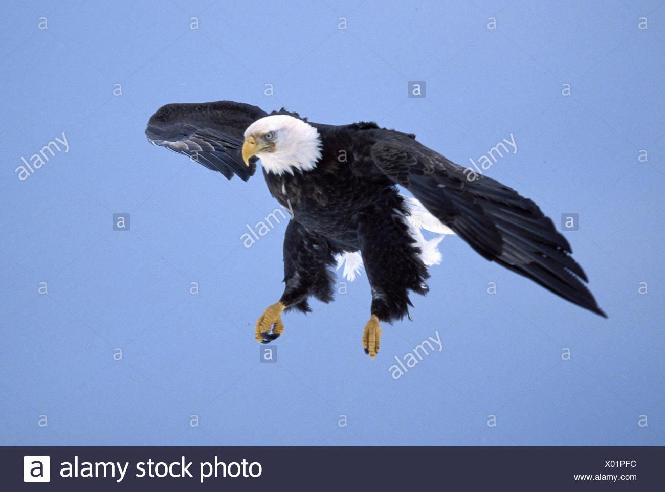 zoology / animals, avian / bird, Accipitridae, Bald Eagle (Haliaeetus leucocephalus), flying, Homer, Alaska, USA, distribution: North America, Additional-Rights-Clearance-Info-Not-Available - Stock Image