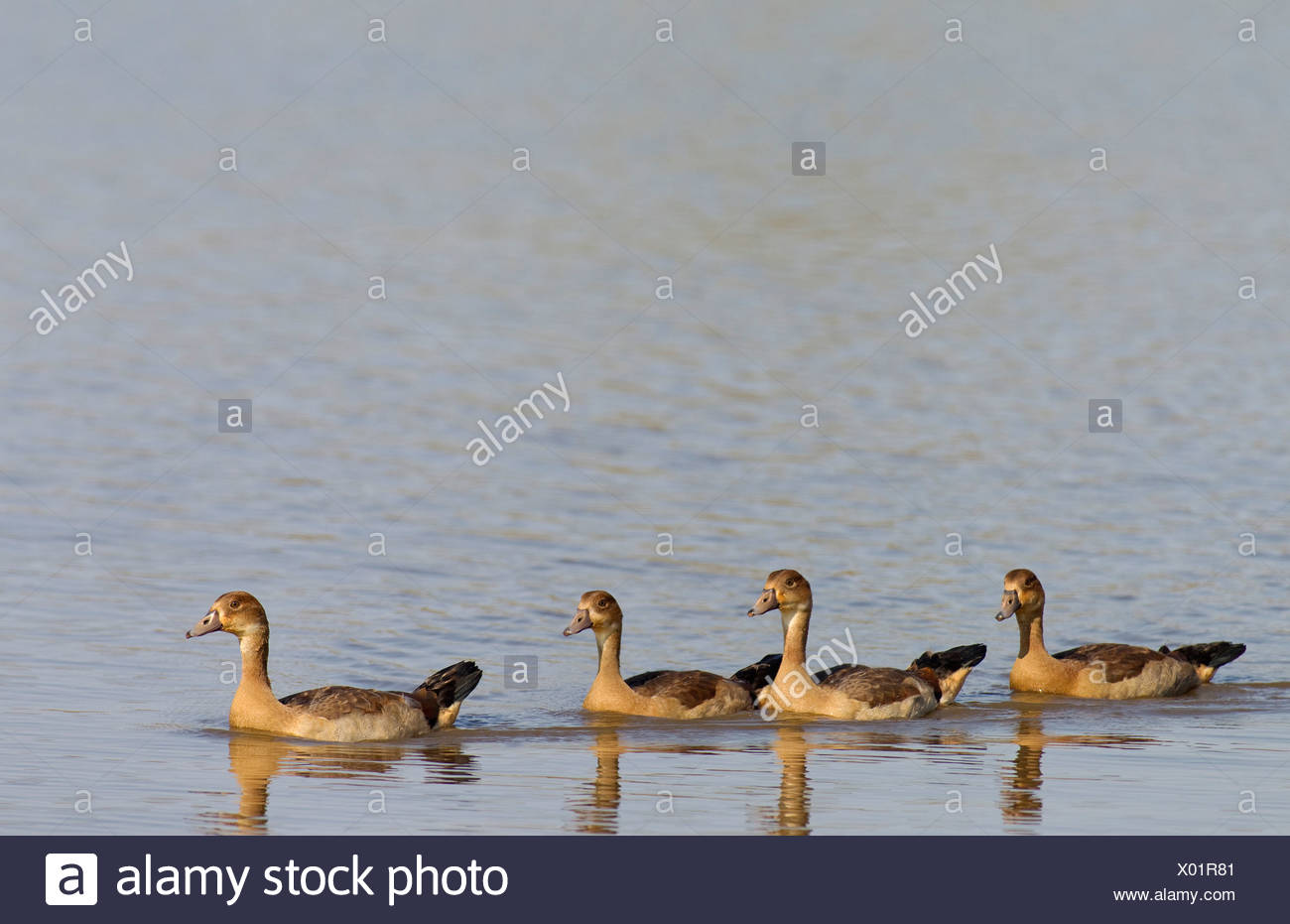 Egyptian Geese (Alopochen aegyptiaca), four young, Sunset Dam, Kruger National Park, South Africa Stock Photo