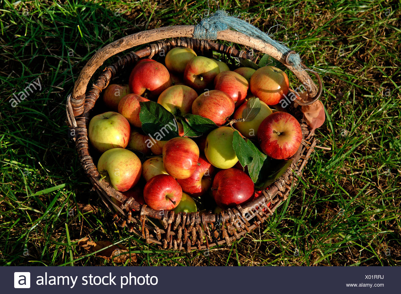 Fresh picked Apples (Malus domesticus) in a basket Stock Photo
