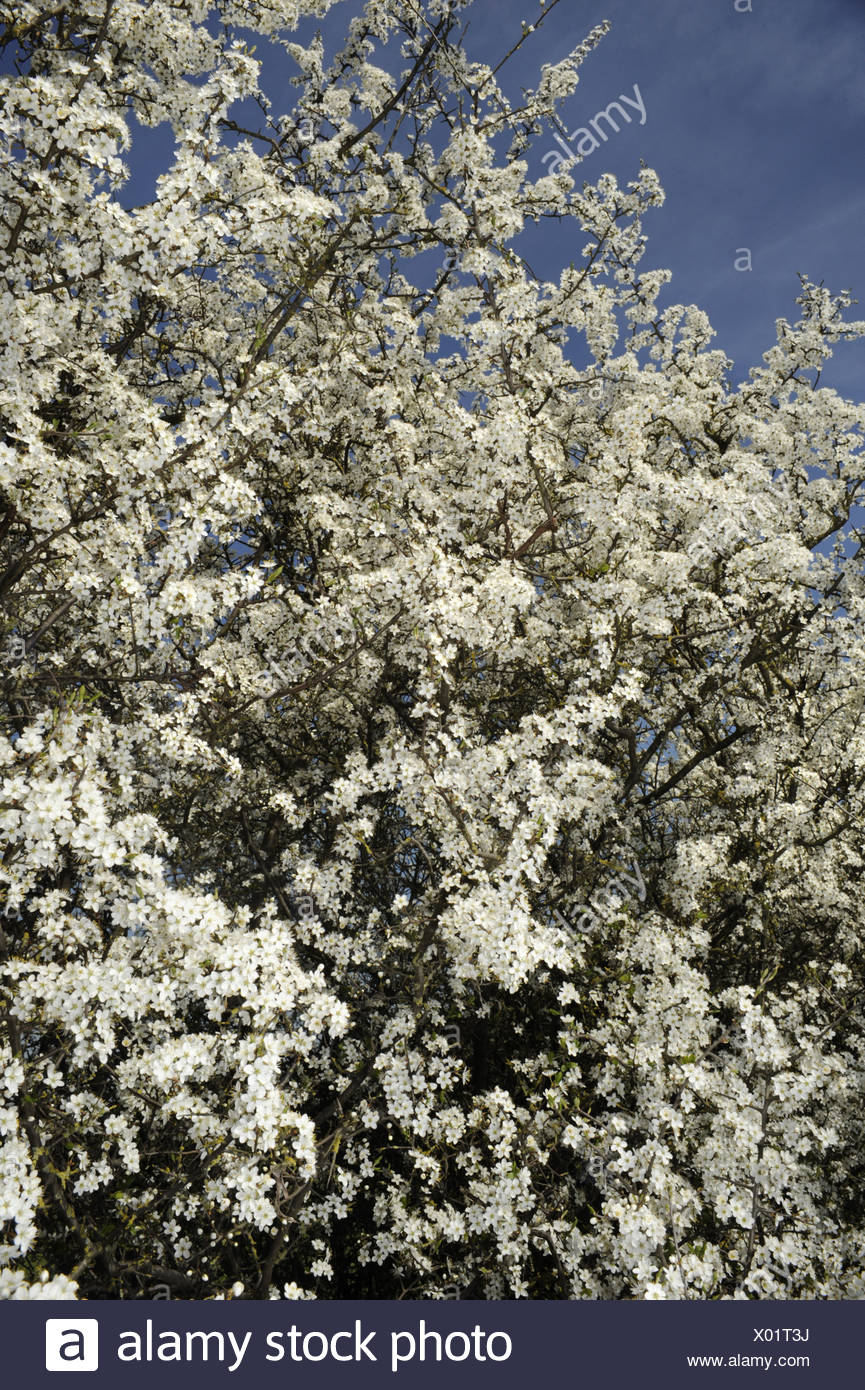 Blackthorn Prunus spinosa Rosaceae - Stock Image